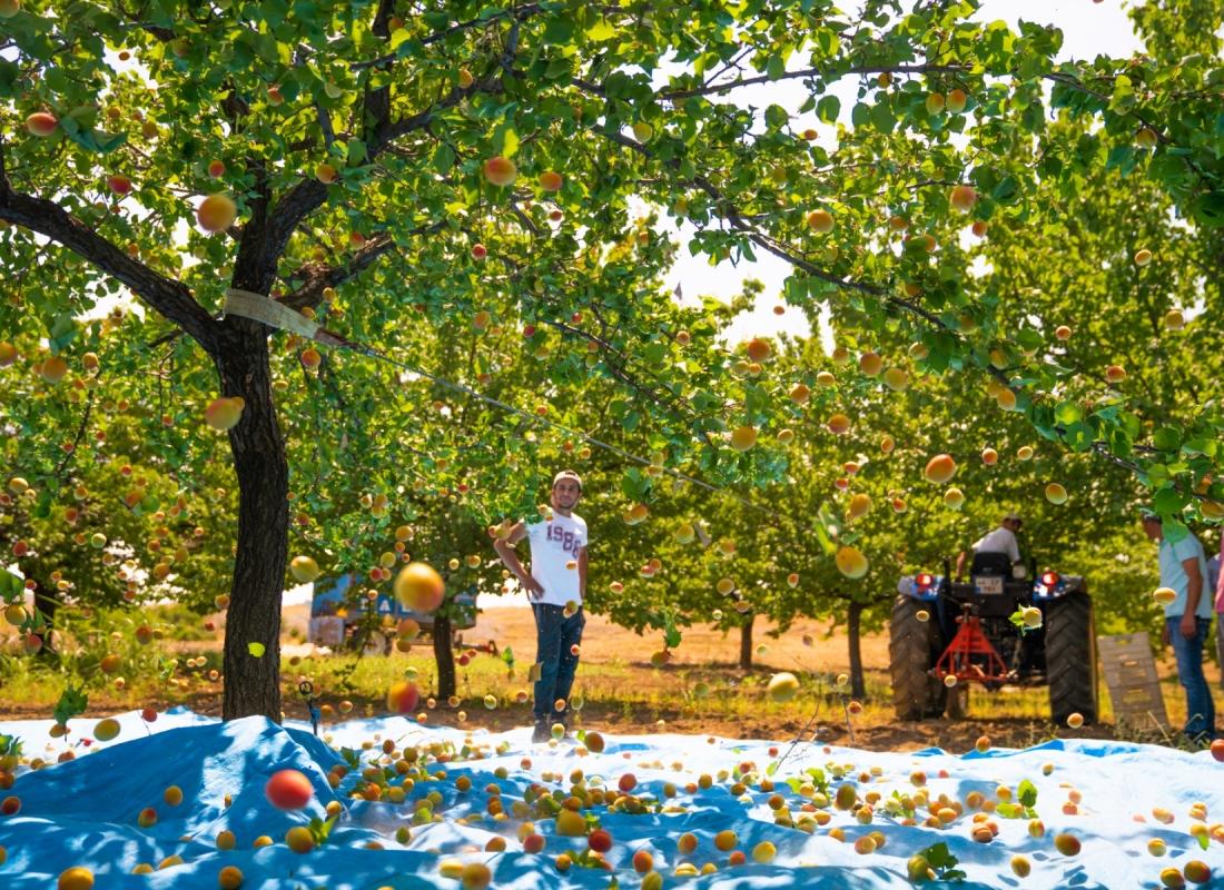 Una volta che il frutto maturo l'albero di albicocche viene scosso in modo da far cadere le albicocche – Malatya, Turchia