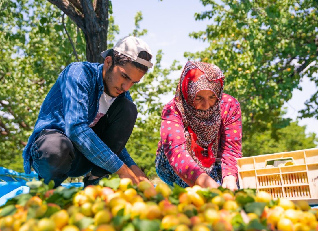 Caduto il frutto gli operatori lo raccolgono mettendolo in comode cassette – Malatya, Turchia