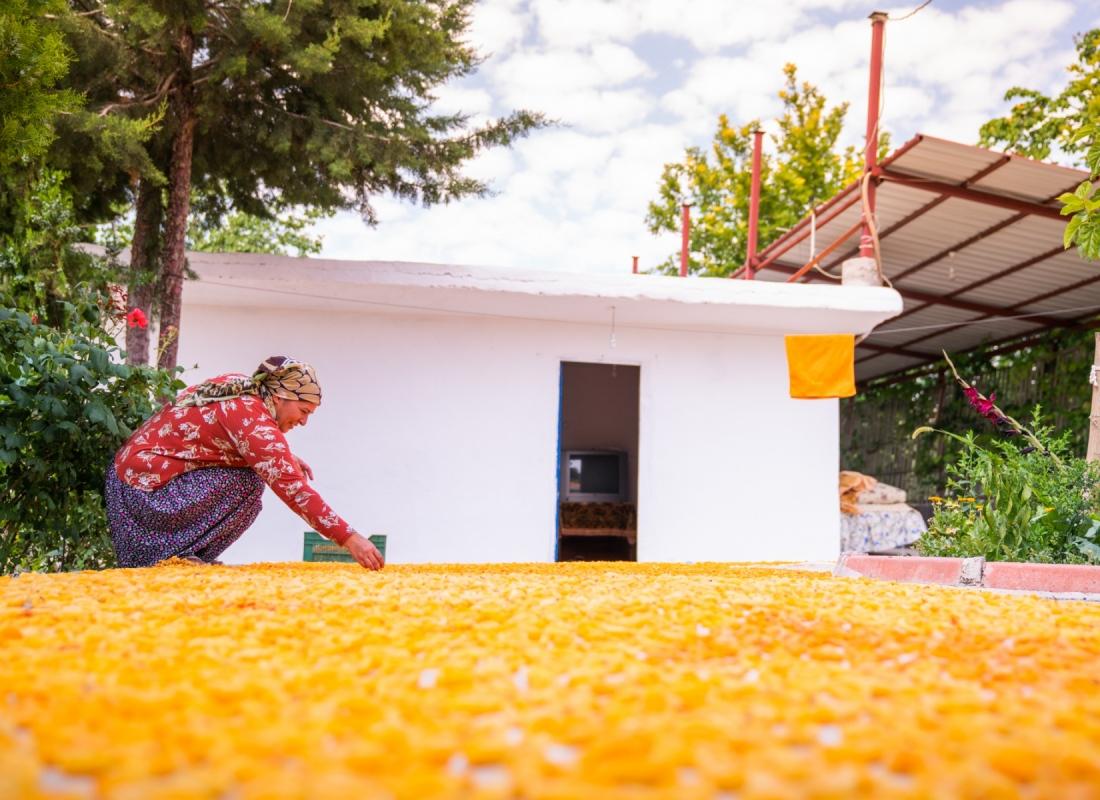 Il frutto raccolto viene steso sopra teloni per l'essiccazione naturale al sole che durerà 5 giorni – Malatya, Turchia