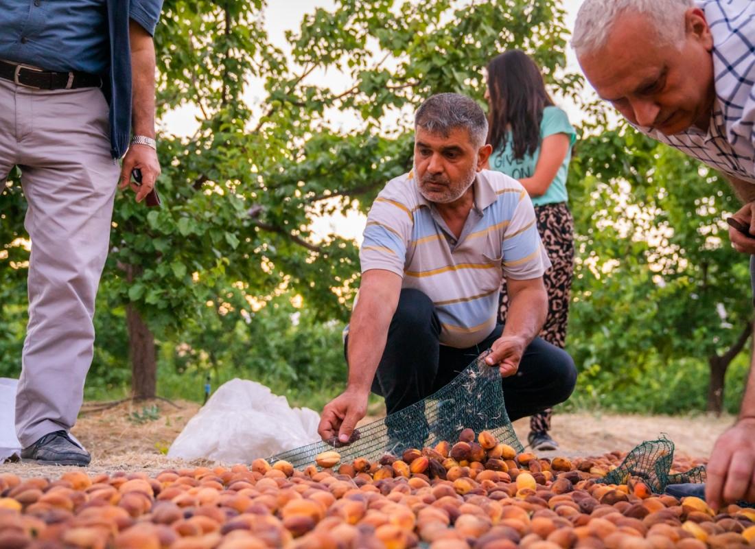 Dopo 5 giorni le albicocche sono essiccate completamente, pronte per la raccolta – Malatya, Turchia