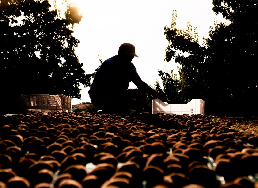 Raccolta delle albicocche essiccate – Malatya, Turchia