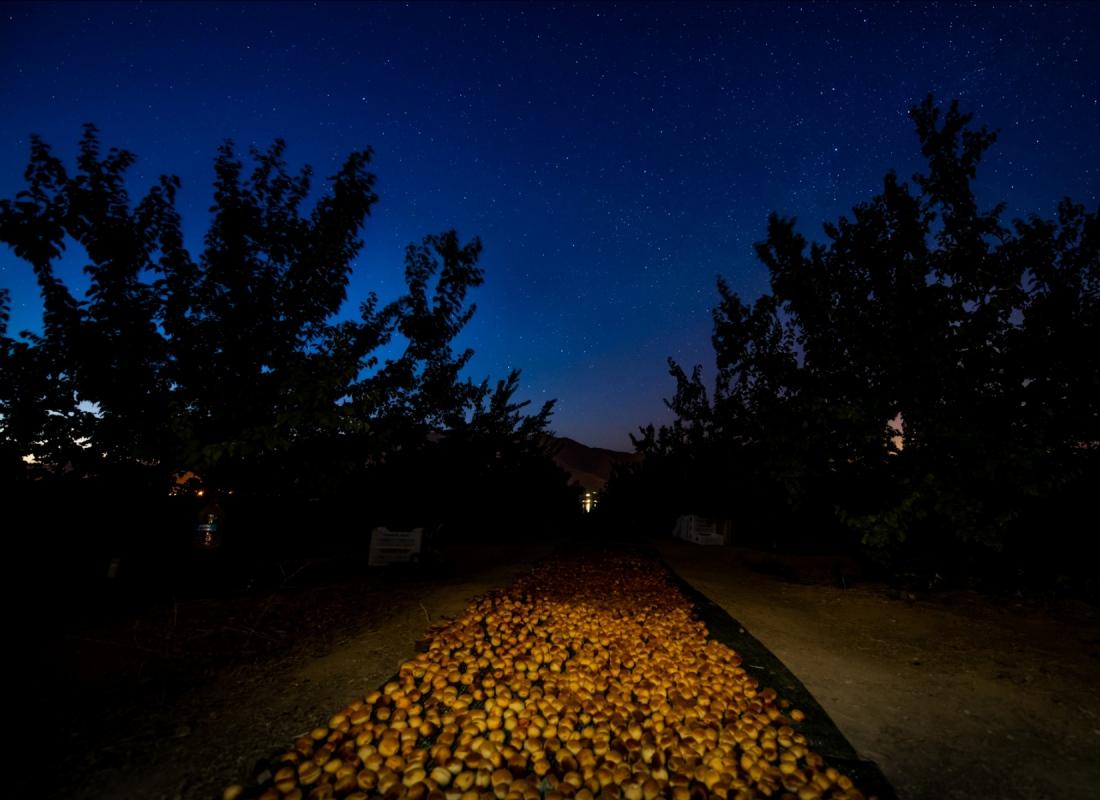 La notte con la sua forte escursione termica permette alle albicocche una volta raccolte di essiccarsi al sole naturalmente in cinque giorni – Malatya, Turchia