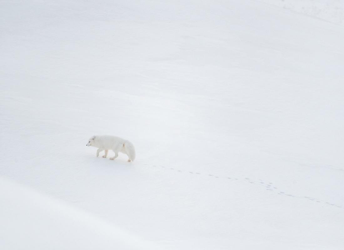 Le Isole Svalbard sono vive e ricche di natura. Non è facile scorgere tra i pendii innevati il manto candido della volpe artica:  quando succede è una meraviglia