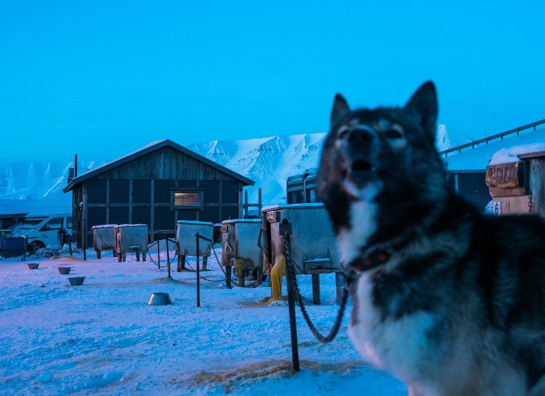 Sulle Isole Svalbard ci sono pochissimi animali domestici, ma tanti cani da slitta. I cani da slitta, che nel periodo invernale lavorano senza sosta portando turisti tra le valli di Spitsbergen, d'estate passano le loro giornate nelle loro gabbie e recinti.