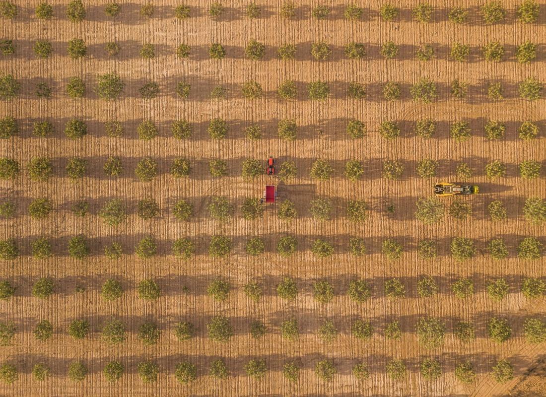 La raccolta meccanizzata del pistacchio. – Castilla de la Mancha, Spagna