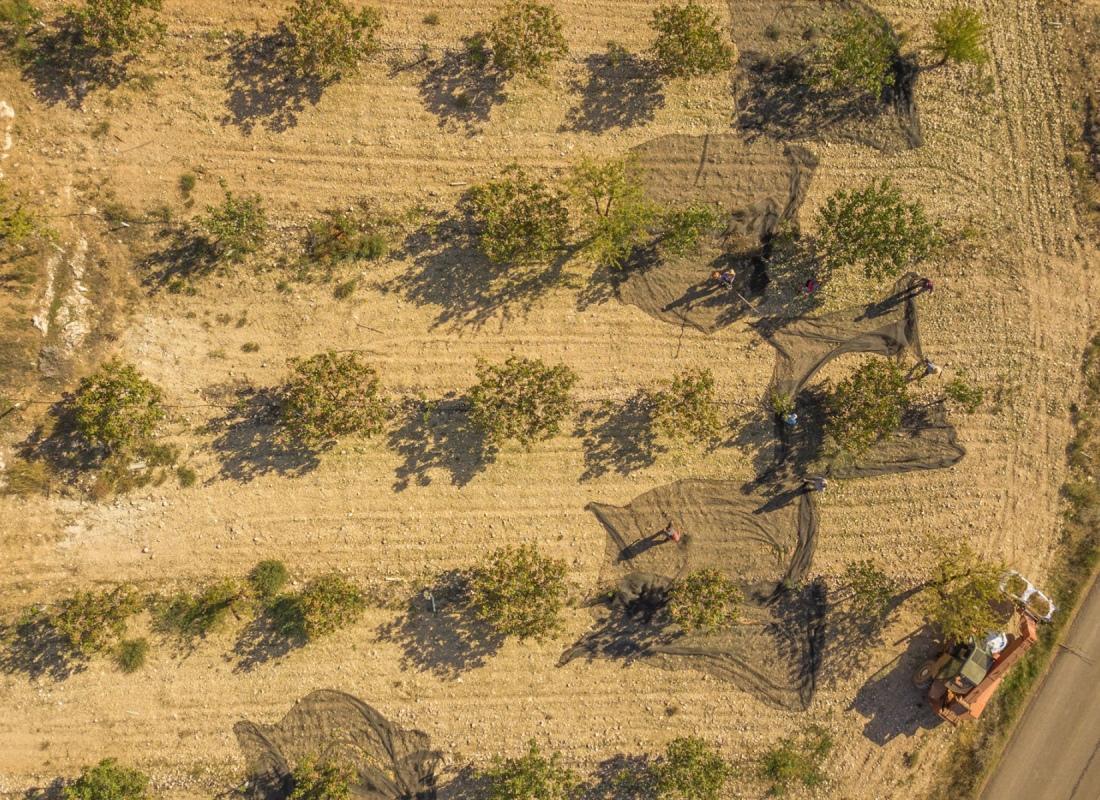 La raccolta manuale del pistacchio. – Navalmoral de la Mata, Spagna