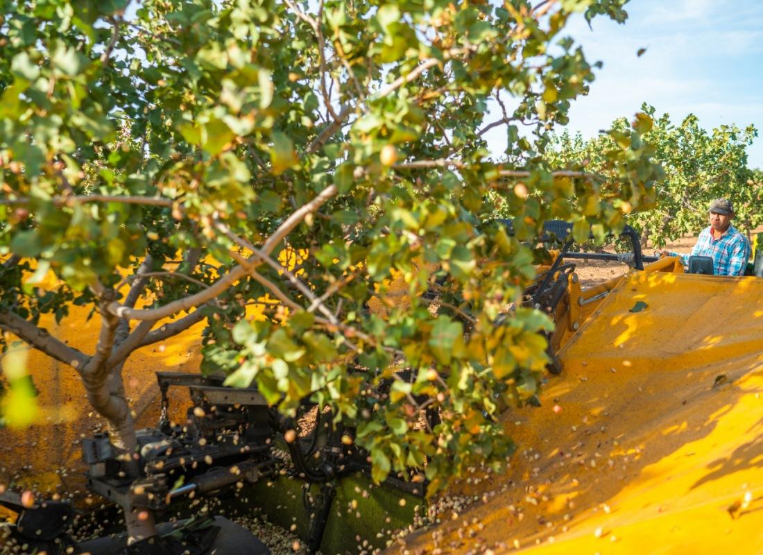 Un operatore svolge la raccolta meccanizzata del pistacchio. – Castilla de la Mancha, Spagna