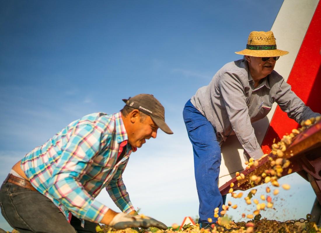 Alcuni contadini stendono i pistacchi raccolti. – Castilla de la Mancha, Spagna