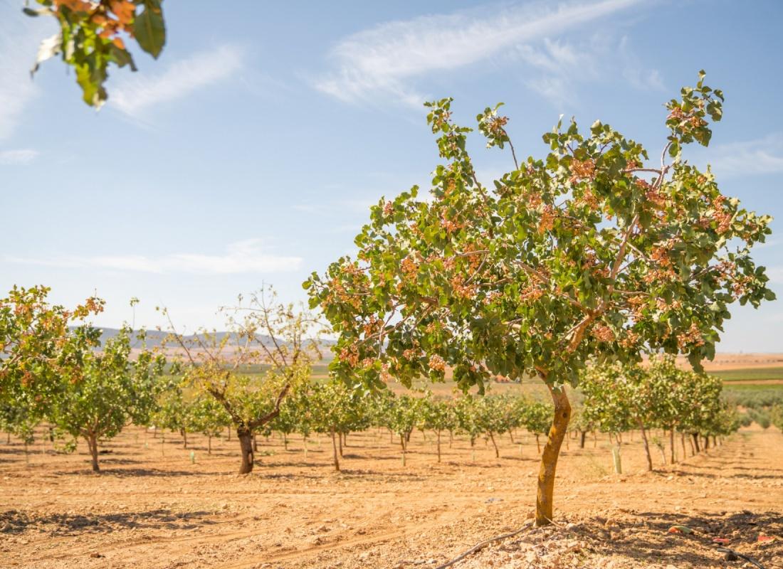 Una pianta di pistacchio pronto per la raccolta – Pozzuelo de Caratrava