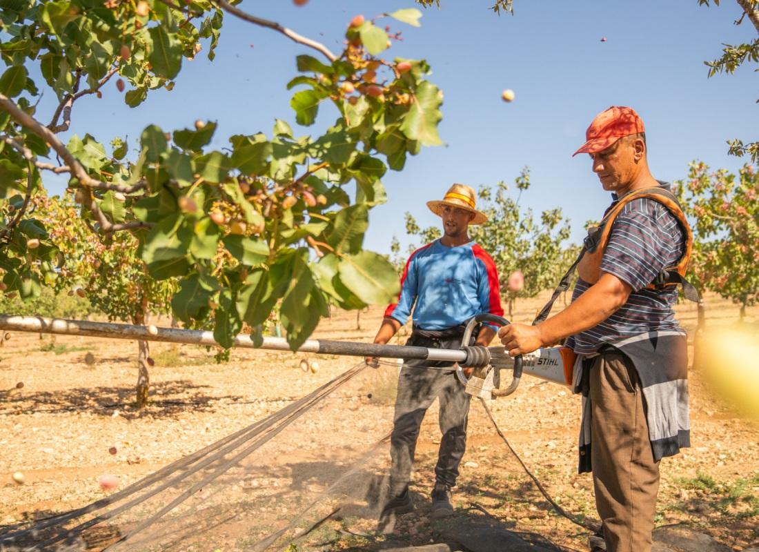 Alcuni contadini scuoto l'albero del pistacchio che fa cadere i frutti sulle reti. – Pozuelo de Calatrava, Spagna