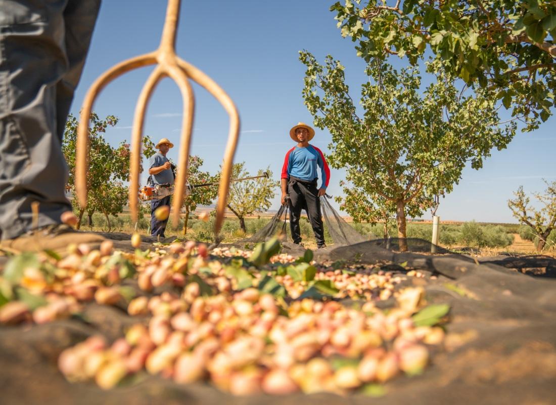 Una volta caduto il pistacchio viene prima radunato per poi essere raccolto con le reti. – Pozuelo de Calatrava, Spagna