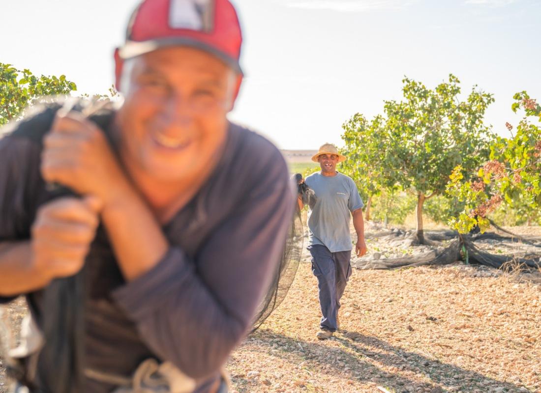 Una volta piene di pistacchi le reti vengono spostate manualmente. – Pozuelo de Calatrava, Spagna