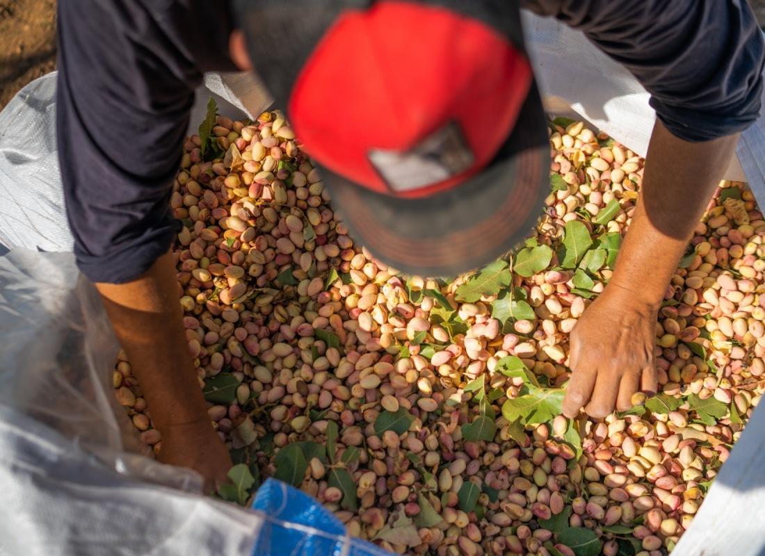 I pistacchi vengono disposti all'interno di sacchi per poi essere trasportati – Pozuelo de Calatrava, Spagna.